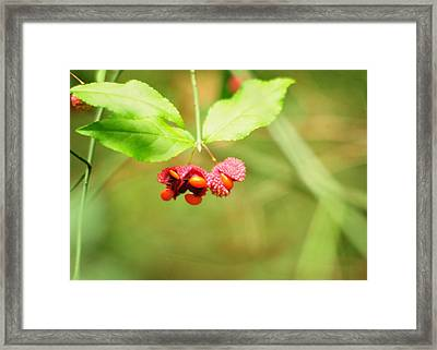 Euonymus Americanus  American Strawberry Bush Framed Print by Rebecca Sherman