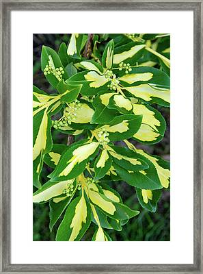 Euonymus Blondy Shrub 2 Framed Print