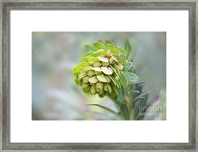 Framed Print featuring the photograph Euphorbia by Linda Lees