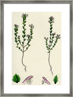 Euphrasia Or Eyebright Framed Print by Unknown