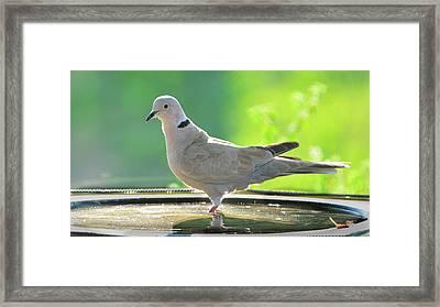 Eurasian Collard Dove In Birdbath Framed Print by Josephine Buschman