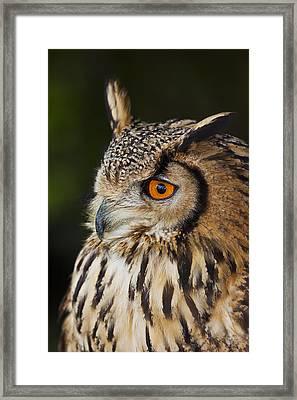 Eurasian Eagle-owl Bubo Bubo Framed Print by Gabor Pozsgai
