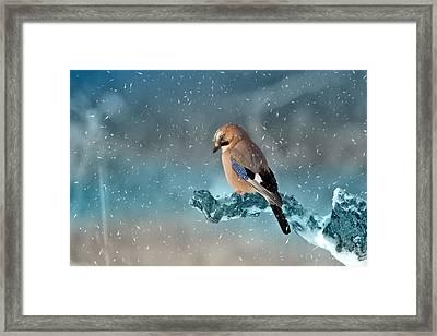 Eurasian Jay Framed Print by Ericamaxine Price