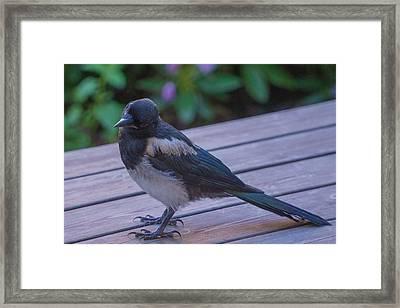 Eurasian Magpie Framed Print by Evgeny Lutsko
