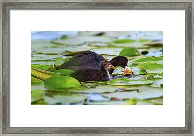 Eurasian Or Common Coot, Fulicula Atra, Duck And Duckling Framed Print by Elenarts - Elena Duvernay photo