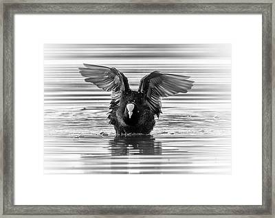 Eurasian Or Common Coot, Fulicula Atra, Duck Framed Print