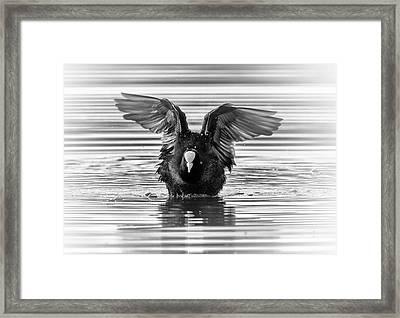 Eurasian Or Common Coot, Fulicula Atra, Duck Framed Print by Elenarts - Elena Duvernay photo