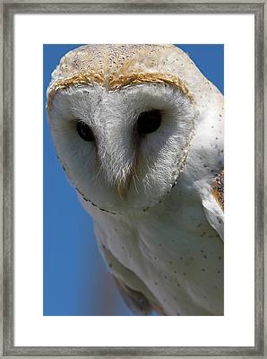 European Barn Owl Framed Print