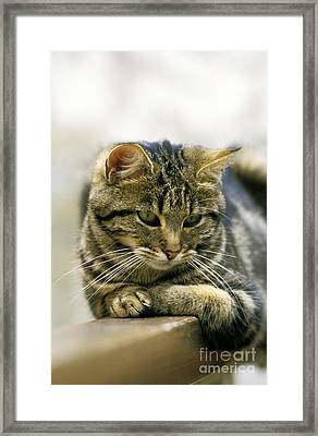 European Brown Tabby Domestic Cat Framed Print