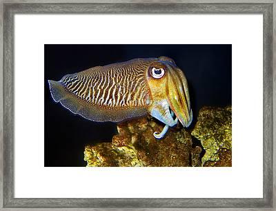 European Cuttlefish, Epia Officinalis Framed Print