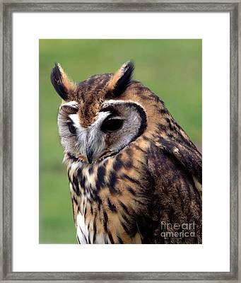 Eurasian Striped  Owl Framed Print by Stephen Melia