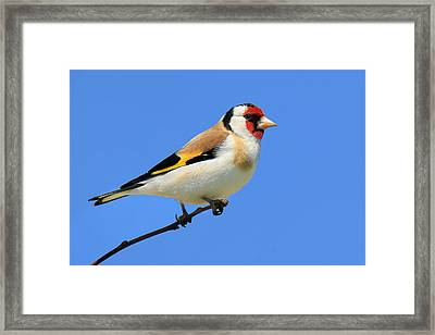 European Gold Finch Framed Print