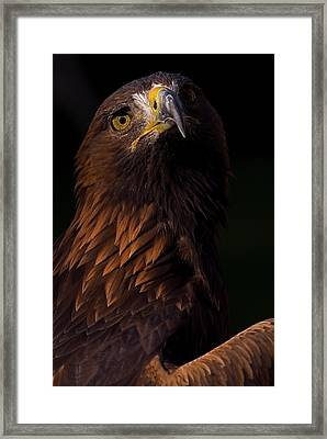 European Golden Eagle Framed Print