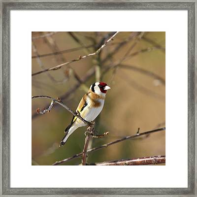European Goldfinch 2 Framed Print by Jouko Lehto