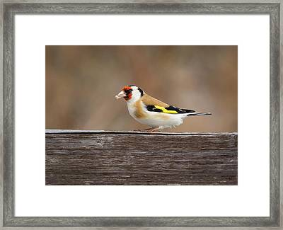 Framed Print featuring the photograph European Goldfinch In Kenosha by Ricky L Jones