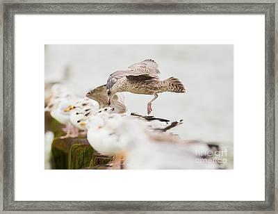 Framed Print featuring the photograph European Herring Gulls In A Row, A Landing Bird Above Them by Nick Biemans