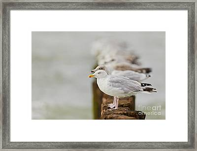 European Herring Gulls In A Row Fading In The Background Framed Print