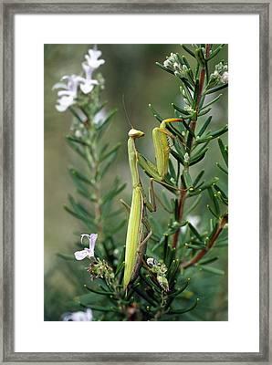European Mantid Mantis Religiosa Framed Print by Konrad Wothe