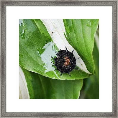 European Peacock Caterpillar Framed Print