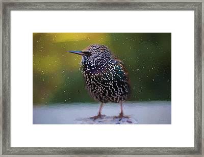 European Starling - Painted Framed Print