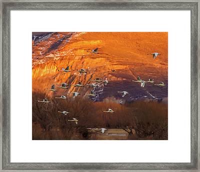 Evaning Flight - Tundra Swans Framed Print by TL Mair