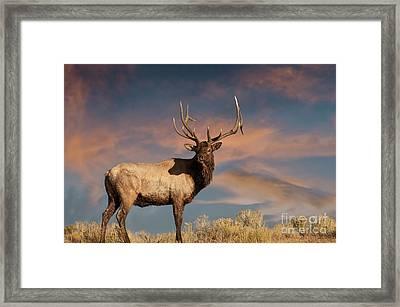 Evening Bull Elk Framed Print by Wildlife Fine Art