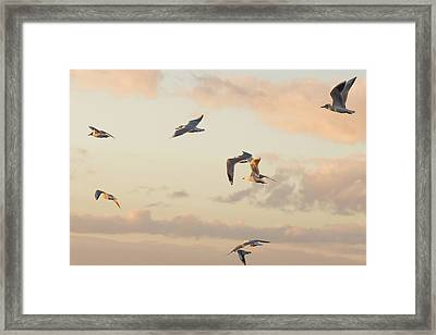 Evening Gulls Framed Print