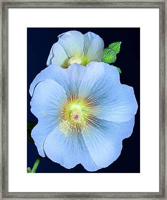Evening Hollyhock Framed Print