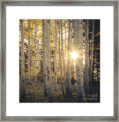 Evening In An Aspen Woods Framed Print by The Forests Edge Photography - Diane Sandoval
