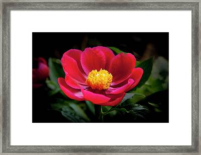 Framed Print featuring the photograph Evening Peony by Charles Harden