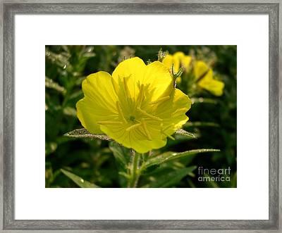 Evening Primrose Framed Print by Addie Hocynec