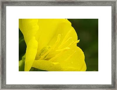 Evening Primrose Framed Print by Amanda Kiplinger