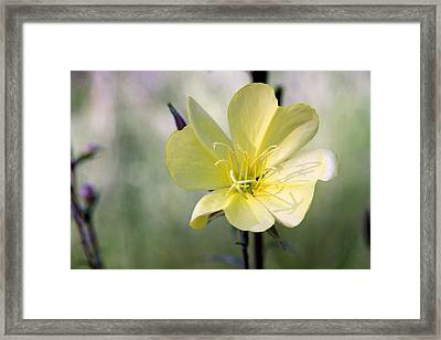 Evening Primrose In The Morning Framed Print by MH Ramona Swift