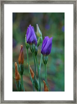 Evening Purple Flowers Framed Print