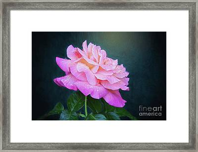 Evening Rose Framed Print