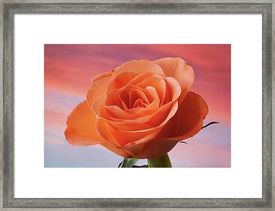 Framed Print featuring the photograph Evening Rose by Terence Davis