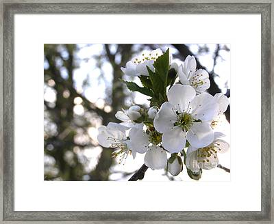 Framed Print featuring the photograph Evening Show - Cherry Blossoms by Angie Rea