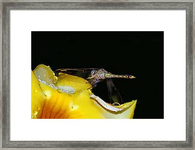 Evening Sip Framed Print by Lesley Smitheringale