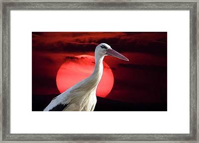 Evening Stork  Framed Print
