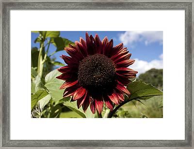Evening Sun Sunflower #2 Framed Print