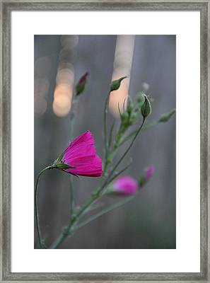 Evening Winecup Framed Print