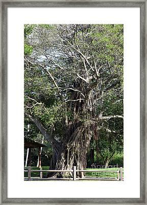 Ever Fascinating Banyan Framed Print by William Tasker