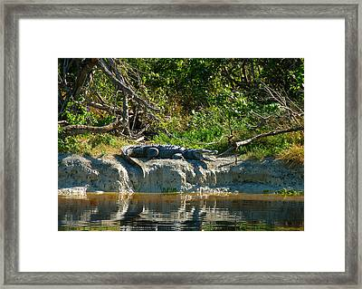 Everglades Crocodile Framed Print by David Lee Thompson