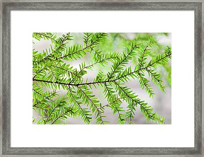 Framed Print featuring the photograph Evergreen Abstract by Christina Rollo