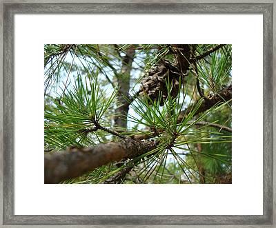 Evergreen Framed Print by Kathy Bucari