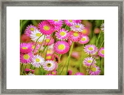 Framed Print featuring the photograph Everlasting Daisies, Kings Park by Dave Catley