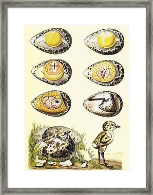 Evolution Of A Chicken Within An Egg Framed Print by Vintage Design Pics