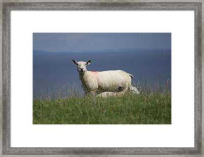 Ewe Guarding Lamb Framed Print