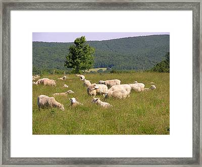 Ewe's Eye View Framed Print by Peter Williams