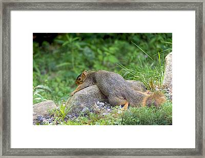 Exhausted Hot Squirrel  Framed Print by LeeAnn McLaneGoetz McLaneGoetzStudioLLCcom
